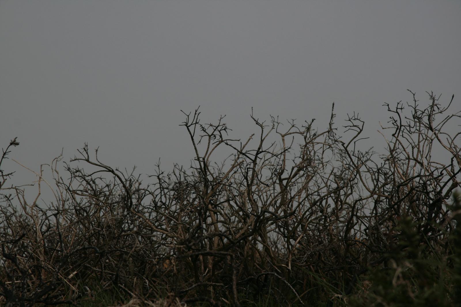 Dead Thorn Bushes 1