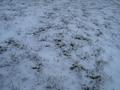 [picture: Grass peeking through snow 2]