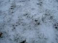 [picture: Grass peeking through snow 3]