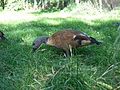 [picture: Brown bird in grass]