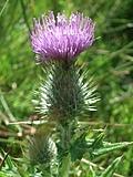 [picture: Scottish thistle 3]