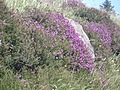 [picture: Pink heather 2]