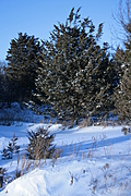[picture: Snowy fir tree]