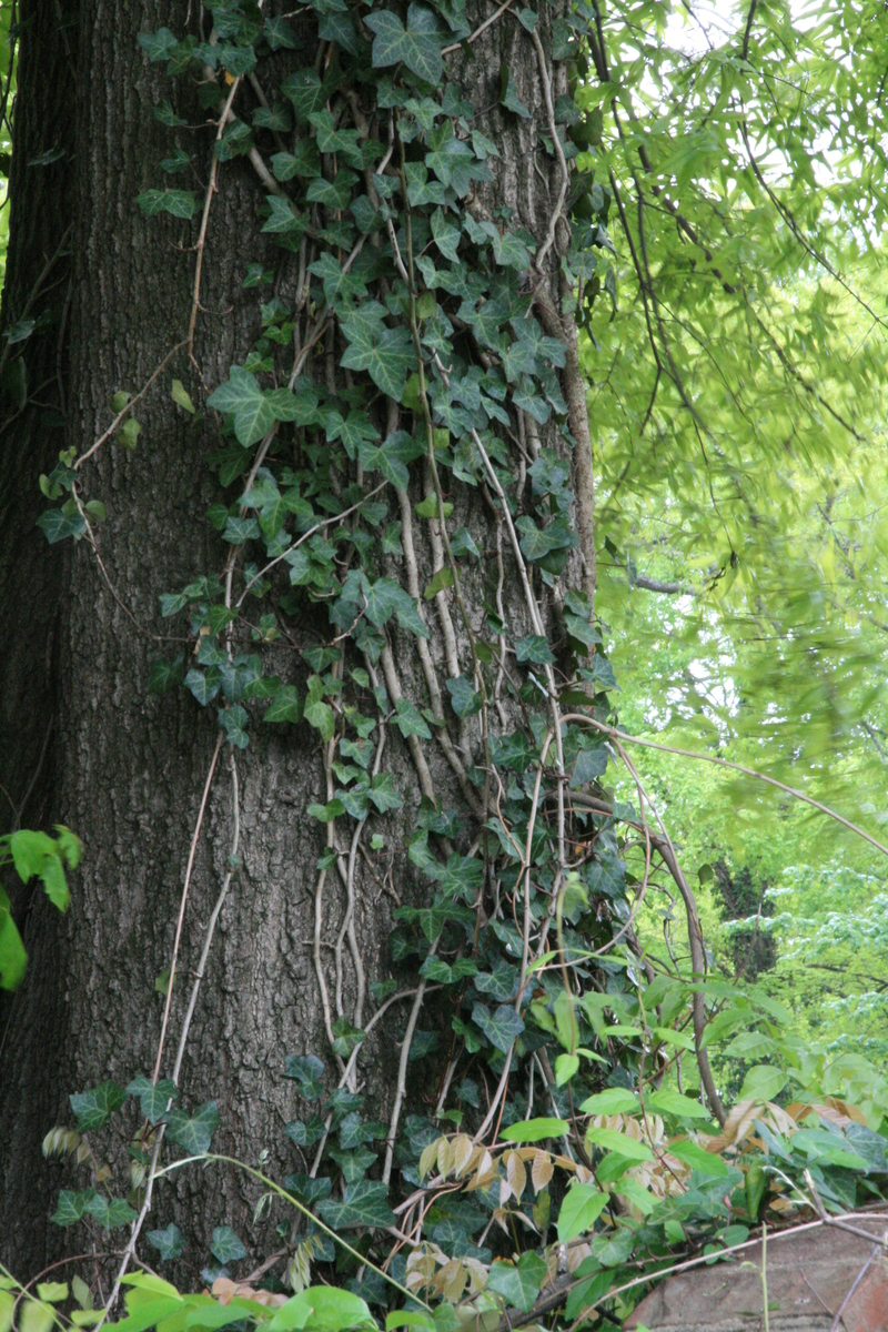Tree Trunk With Ivy 1details