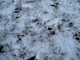 [picture: Grass peeking through snow 3]