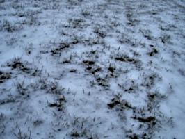 [Picture: Grass peeking through snow 2]