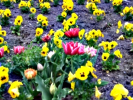 [picture: Tulips]