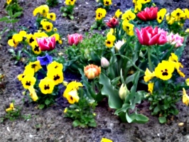 [picture: Tulips 2]