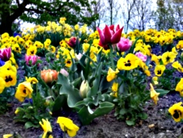 [picture: Tulips 3]
