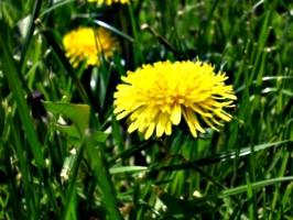 [picture: Dandelion 2]