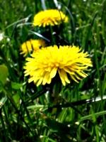 [picture: Dandelion 3]