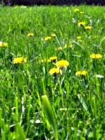 [picture: Dandelion Grass 2]