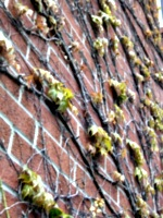 [picture: Creeper on brick wall]