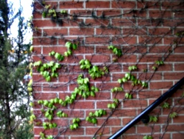 [picture: Creeper on brick wall 3]