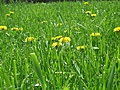 [Picture: Dandelion Grass]