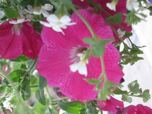[Picture: Upside-down convolvulus flower]