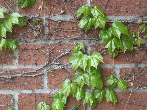 [Picture: Creeper on brick wall 2]