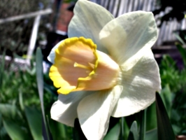 [picture: Daffodil 4]