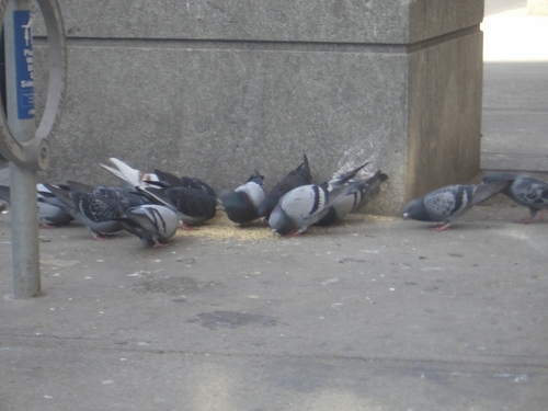 [Picture: City Pigeons]