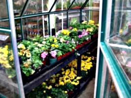[picture: Greenhouse at a Nursery]