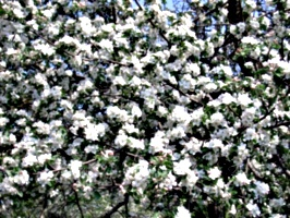 [picture: Apple Blossom]