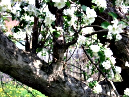 [picture: Apple Tree Branch]