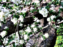 [picture: Apple Tree Branch 2]