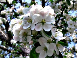 [picture: Apple Blossom Closeup 2]