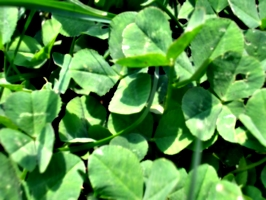 [picture: Clover in the Lawn]