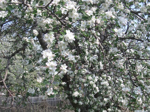 [Picture: Apple Blossom 2]