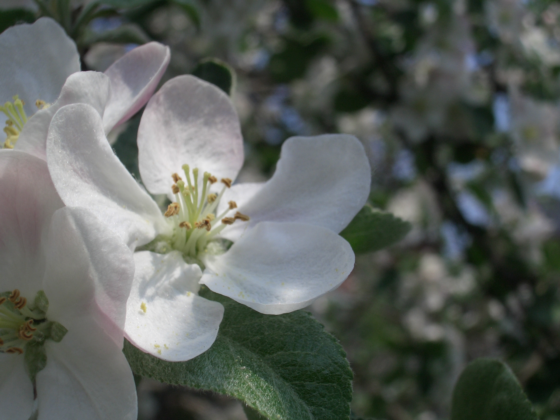 [Picture: Apple Blossom Closeup]