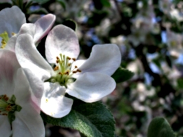 [Picture: Apple Blossom Closeup]