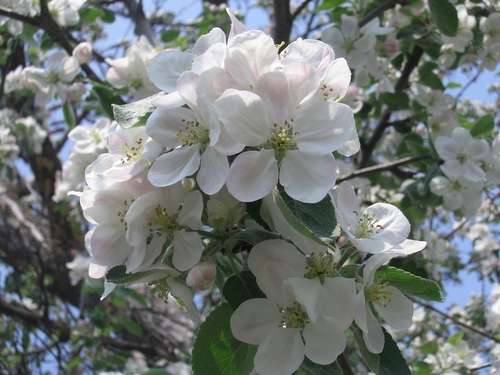 [Picture: Apple Blossom Closeup 2]