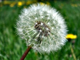 [Picture: Dandelion Seed]