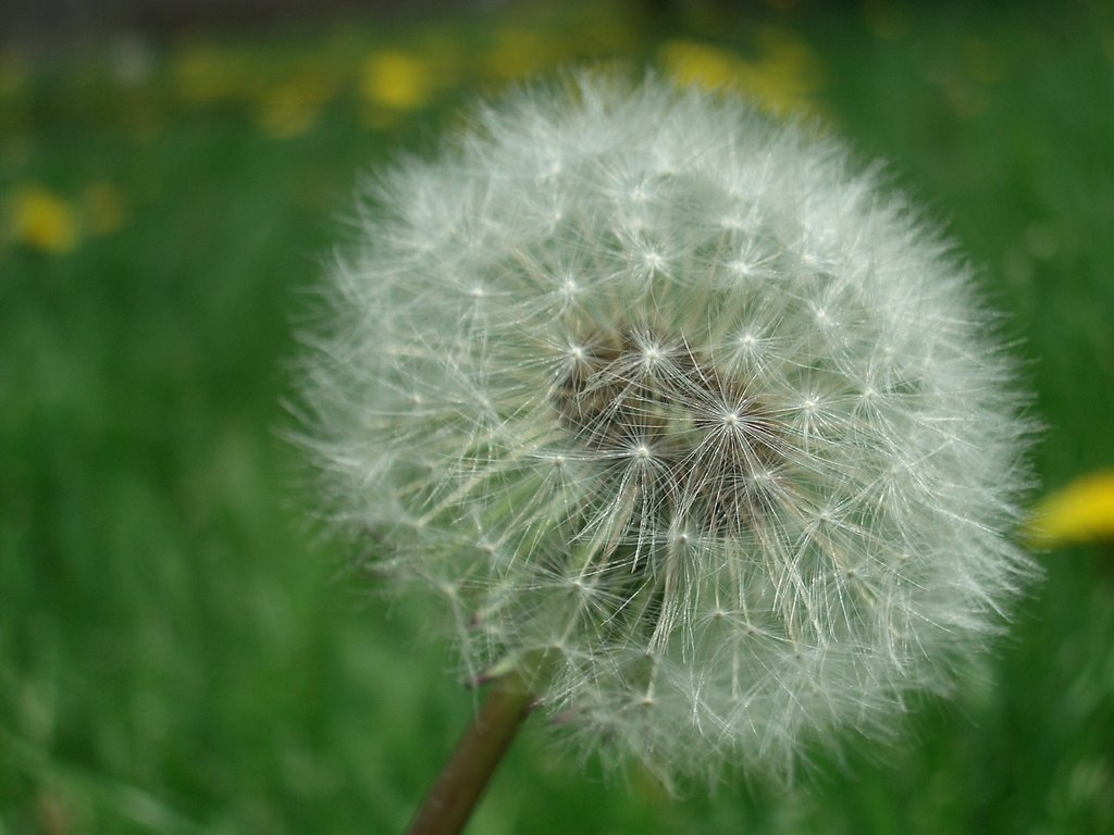 [Picture: Dandelion Seed 2]