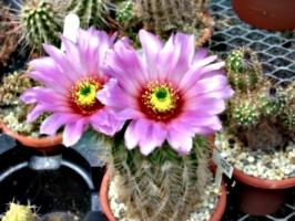 [picture: Purple Flowering Cactus]