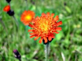 [picture: Orange flower]