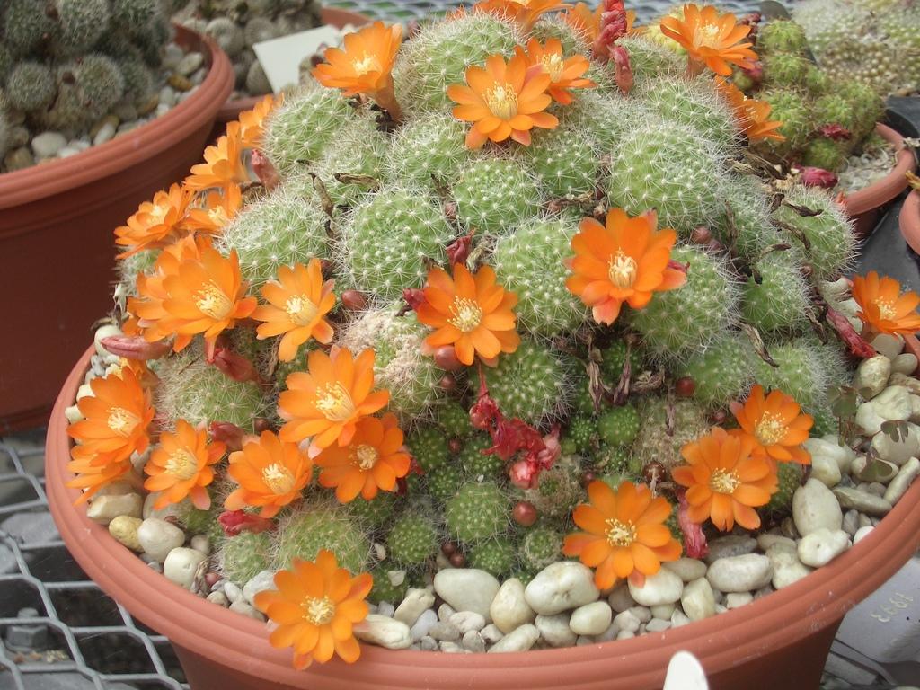 [Picture: Flowering Cacti]