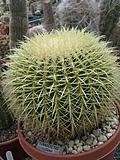 [Picture: Round Cactus]