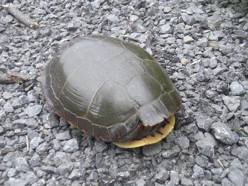 [Picture: Turtle 2]