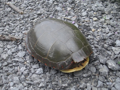 [Picture: Turtle 3]
