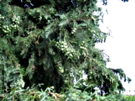 [picture: Pine berries 2]