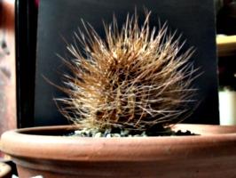 [picture: Dead cactus 2]