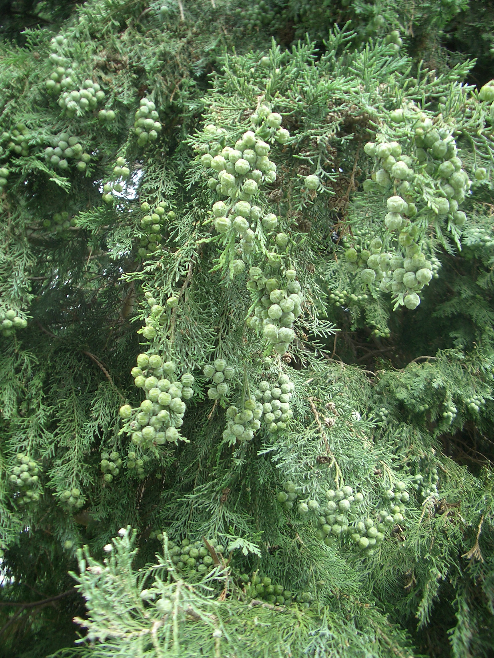 [Picture: Pine berries]