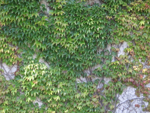 [Picture: Creeper-covered wall]