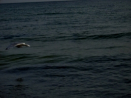 [picture: Bird flying over water]