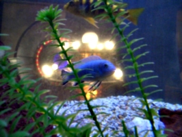 [picture: Blue fish]