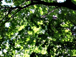 [picture: Looking up through the leaves]