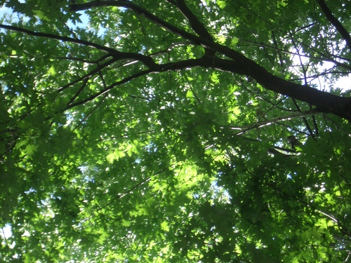 [Picture: Looking up through the leaves 2]