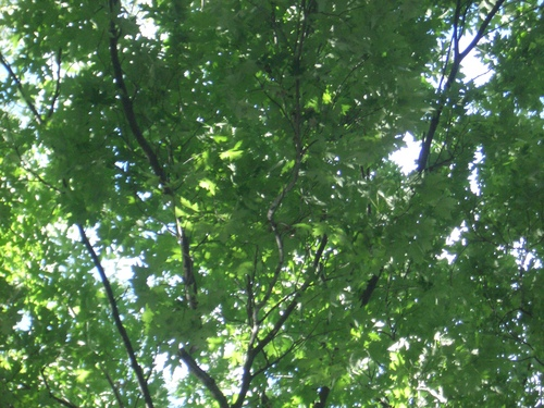 [Picture: Looking up through the leaves 3]